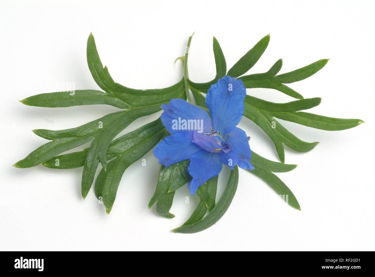 Forking Larkspur (Consolida regalis, Delphinium consolida), medicinal plant - Stock Image