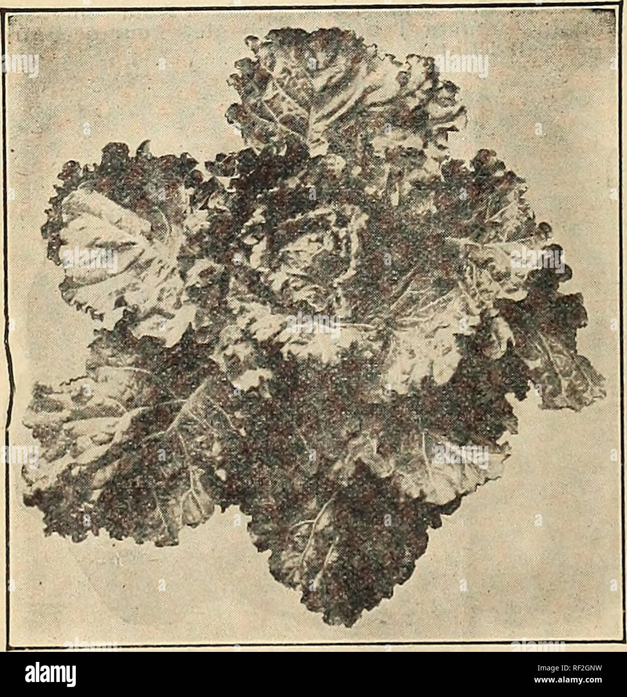 . Catalogue No. 91. Vegetables Seeds Catalog. Fruit Seeds Catalog. heard, oi -i-uerende Carrot.. COLLARDS Alexander's White Cabbage Collard (The Heading Variety). An old-time standby for winter greens all over the South. Well adapted to every Southern State, and Is a species of cabbage not only hardy, but a vigorous and continuous grower, producing a mass of leaves and later a fairly good head. Not in its best condition until touch- ed by frost. Seed can be sown here from early spring up to October 1st. When plants are 6 inches high trans- plant to open ground, setting 2 feet apart in the row. - Stock Image