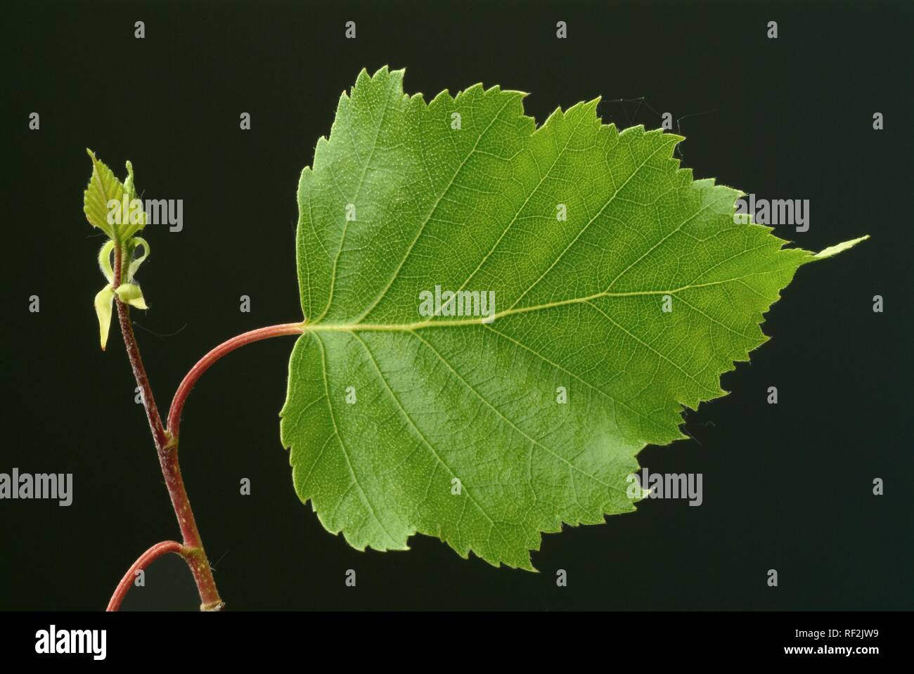 Silver -, White - or European Weeping Birch leaves (Betula pendula), medicinal plant, healing plant - Stock Image