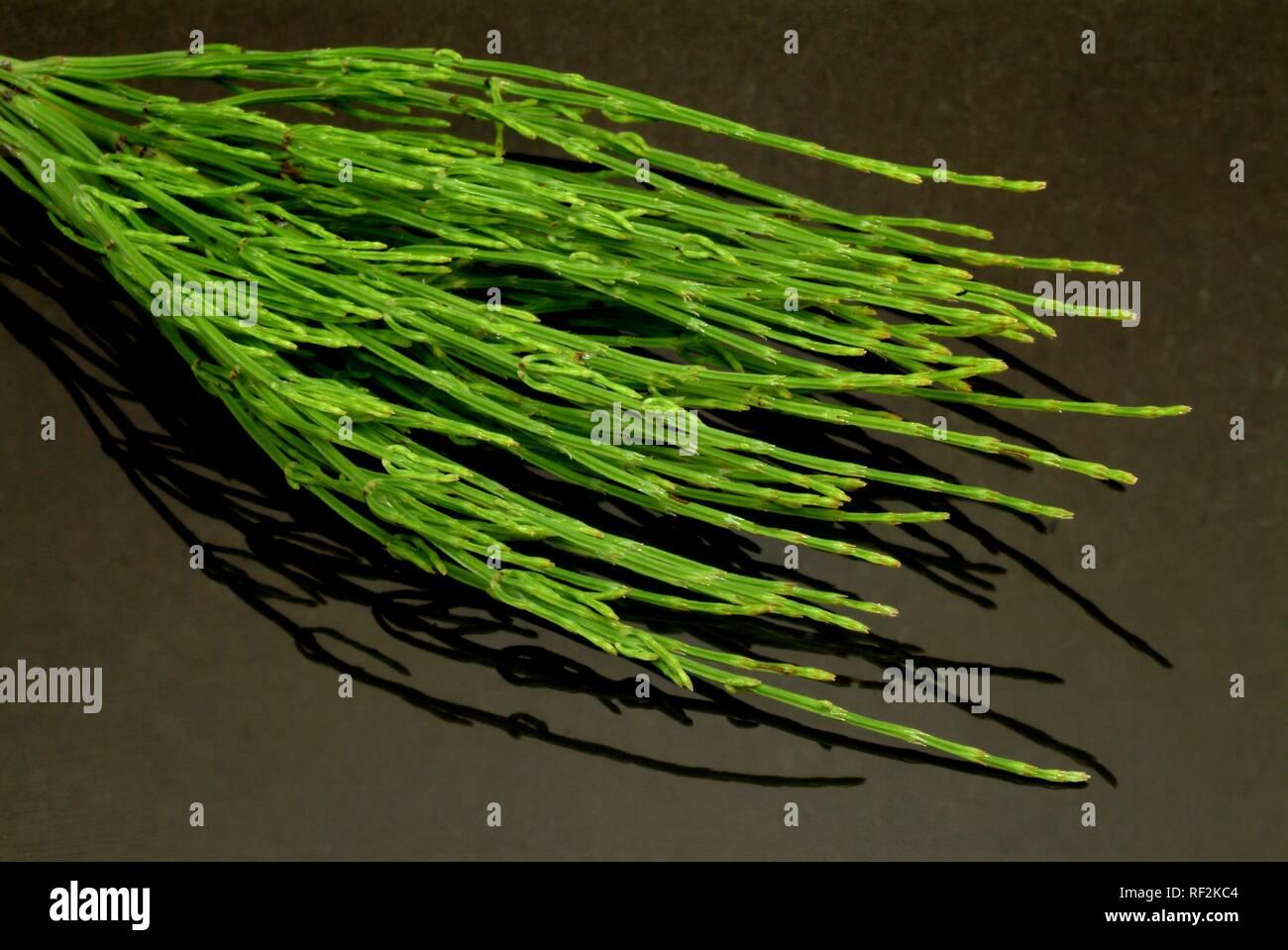 Field Horsetail (Equisetum arvense), medicinal plant Stock Photo