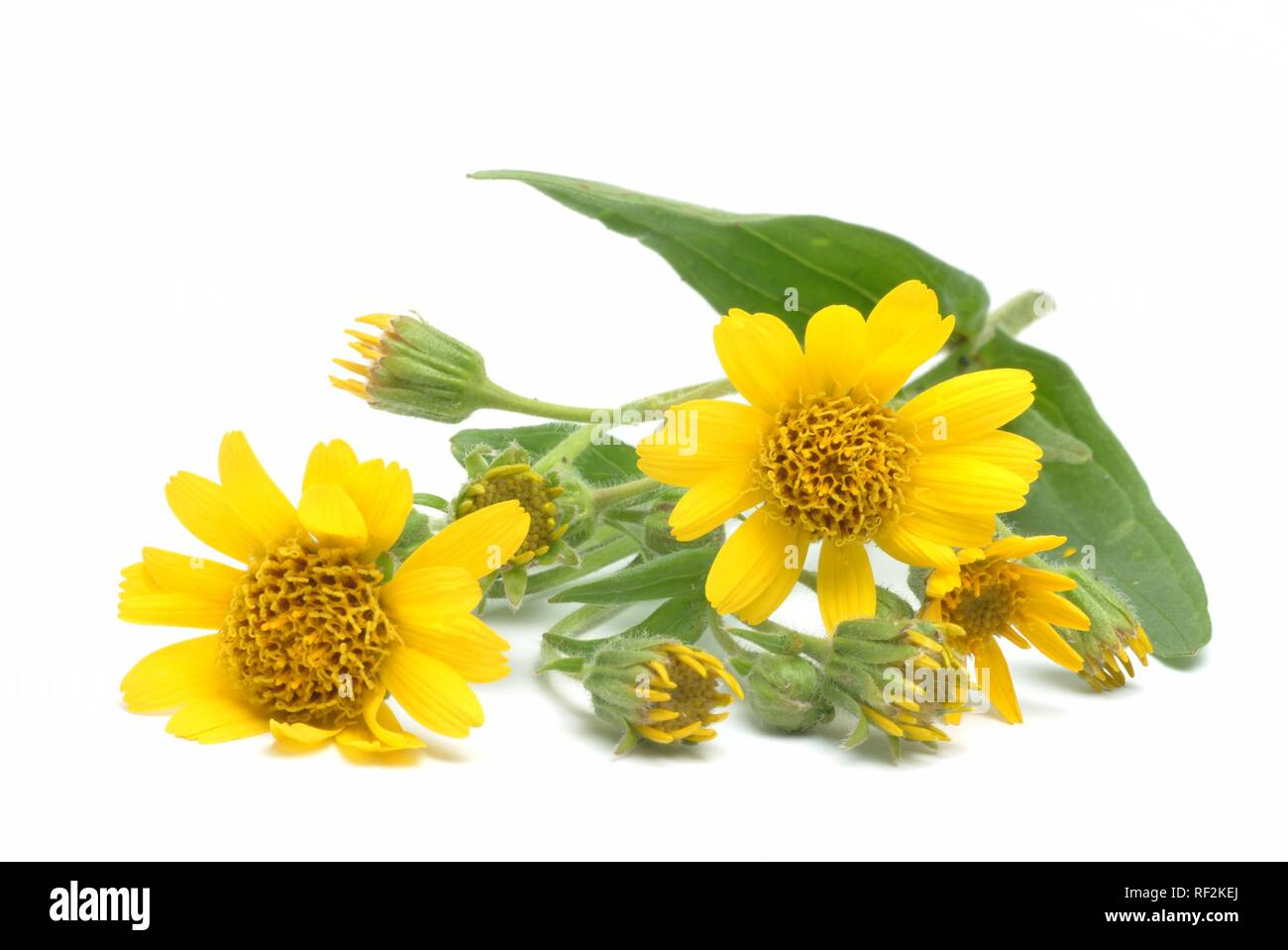 Mountain Tobacco, Wolfs´s Bane or Leopard's Bane (Arnica montana), medicinal plant - Stock Image