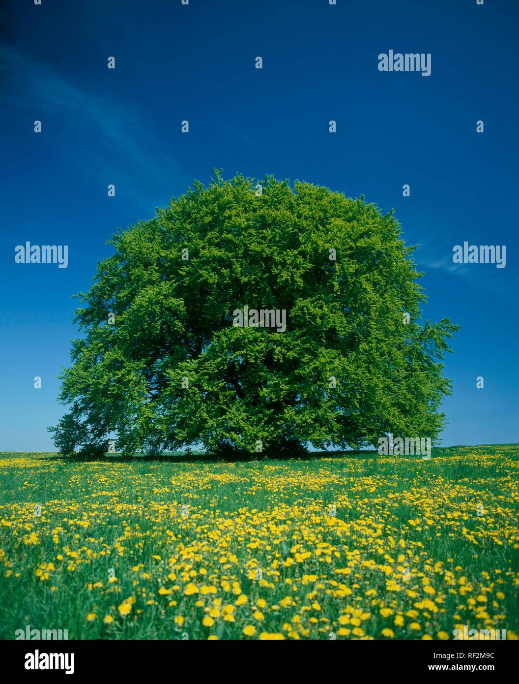 900-year-old beech tree (Fagus) on a spring meadow, Bavarian Beech, Bavaria - Stock Image