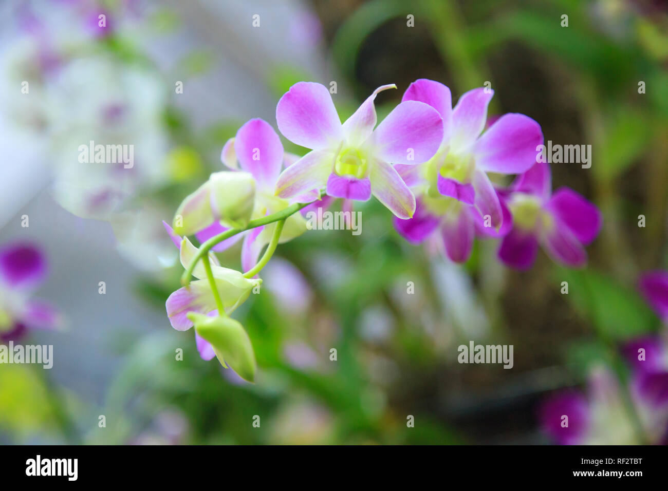 Beautiful Colorful Pink Purple Orchid Flowers Floral