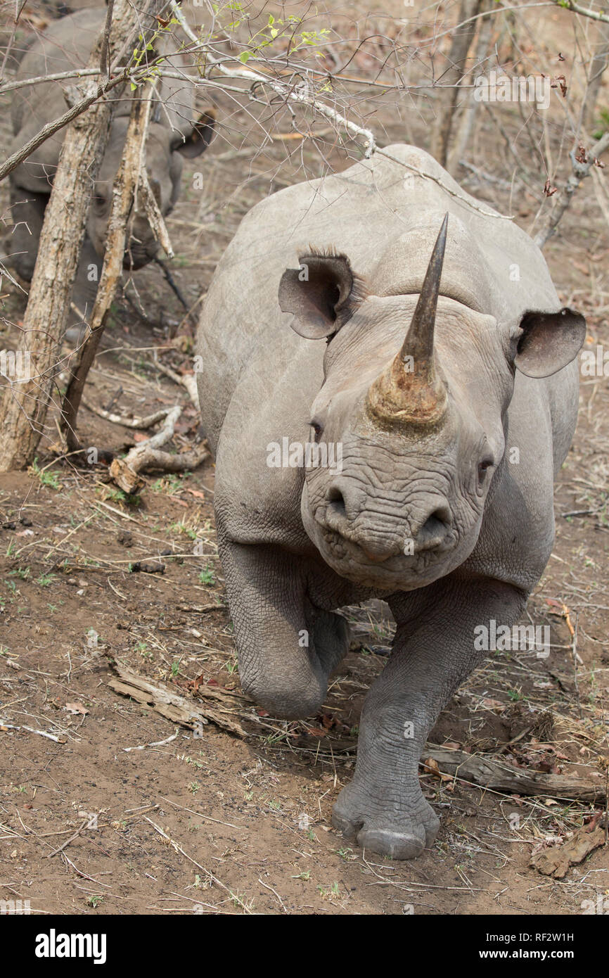 Black rhinoceroses, Diceros bicornis, in Majete Wildlife Reserve have poor eye-sight and rely on smell to detect threats. They're quick to charge - Stock Image