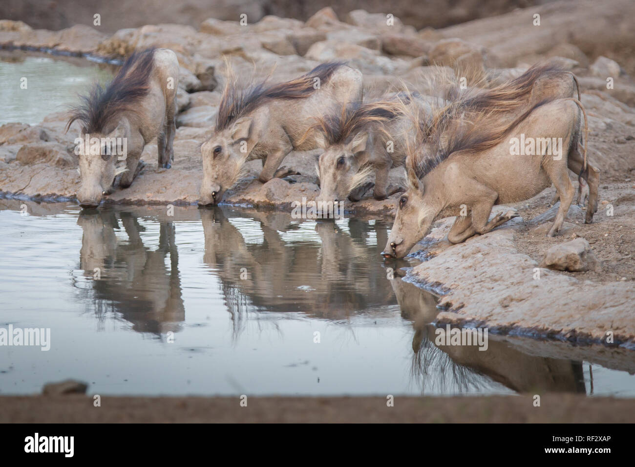 During the dry season, thirsty warthogs, Phacochoerus africanus, line up to drink from a waterhole in Majete Game Reserve in Malawi - Stock Image