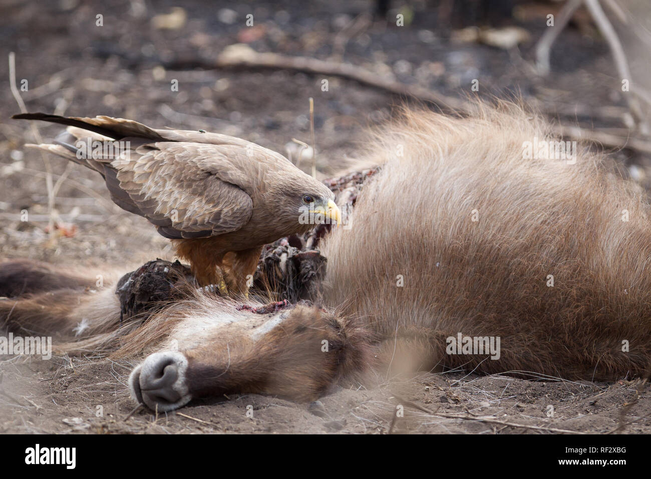 Late rains in Majete Wildlife Reserve led to the death of a waterbuck which provided food for a scavenging Yellow-billed kite, Milvus aegyptius - Stock Image