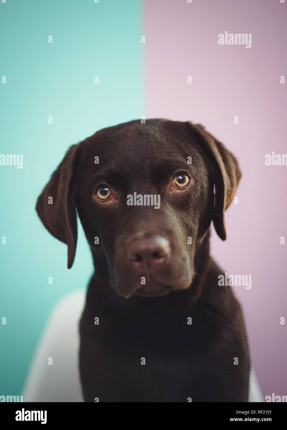 A young chocolate lab sits looking at the camera against a colorful two tone painted wall. - Stock Image