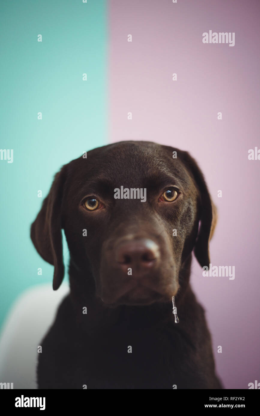 A young chocolate lab sits looking at the camera against a colorful two tone painted wall, with slobber drooling out of his mouth. - Stock Image