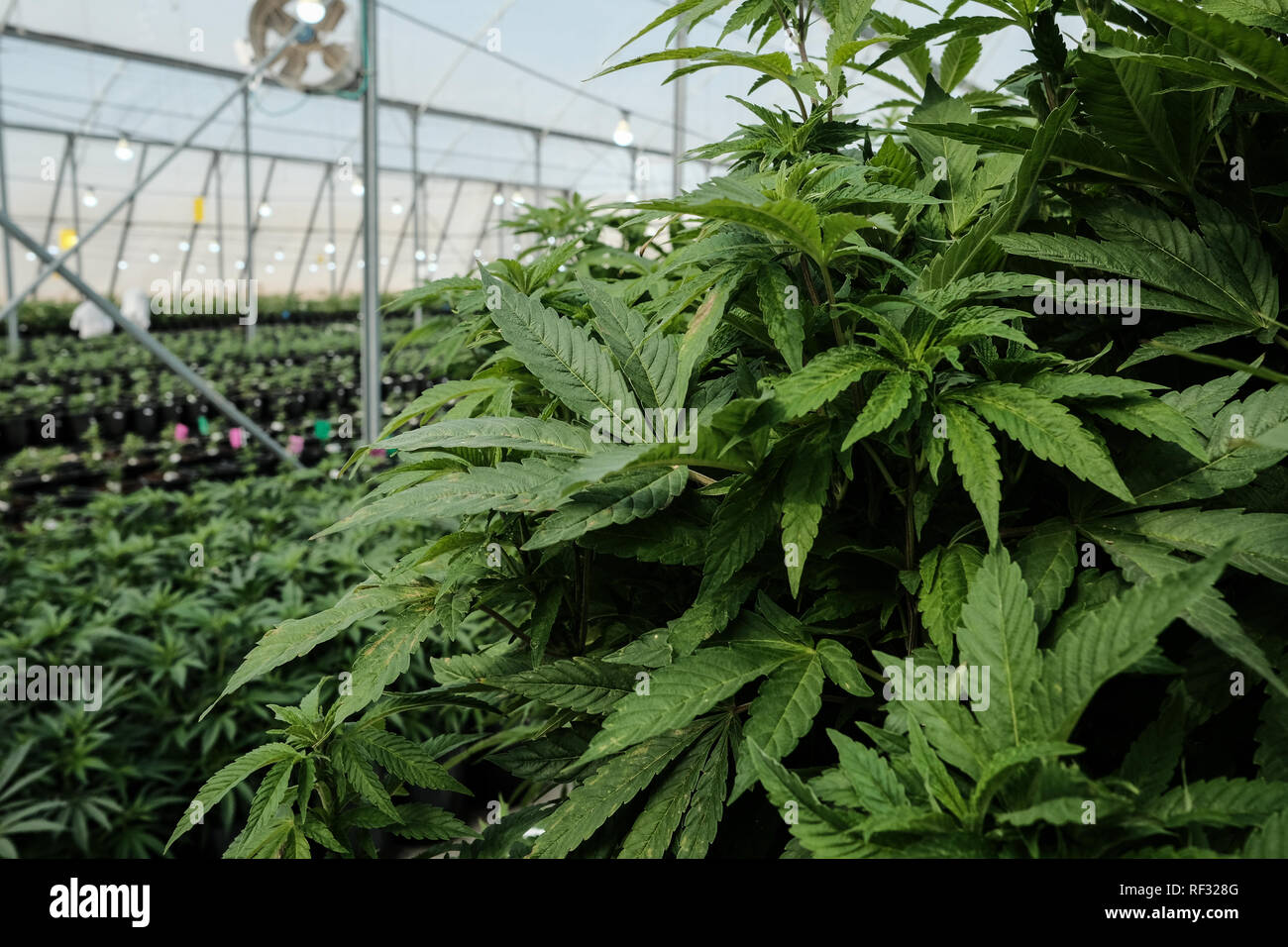 Revadim, Israel. 23rd January, 2019. Breath of Life Pharma (BOL), one of the world's largest medical Cannabis production, research, and development facility and clinical trials hub, boasts 1,000,000 Square feet of GACP cultivation facilities, 65,000 Square feet of GMP production plant, labs and offices, 80% market share in Israeli pharmacies and 32 Phase 2 clinical trials on their way, representing one of the most comprehensive cannabinoid clinical trial portfolios in the industry. Credit: Nir Alon/Alamy Live News - Stock Image