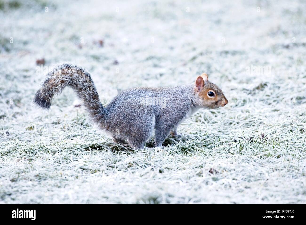 Hailsham, UK. 24th Jan 2019.UK weather.A Grey squirrel (Sciurus carolinensis) scavenges for food this morning after a cold night in Sussex. Wildlife will struggle to find food as the cold weather worsens this week. Hailsham, East Sussex, UK. Credit: Ed Brown/Alamy Live News - Stock Image