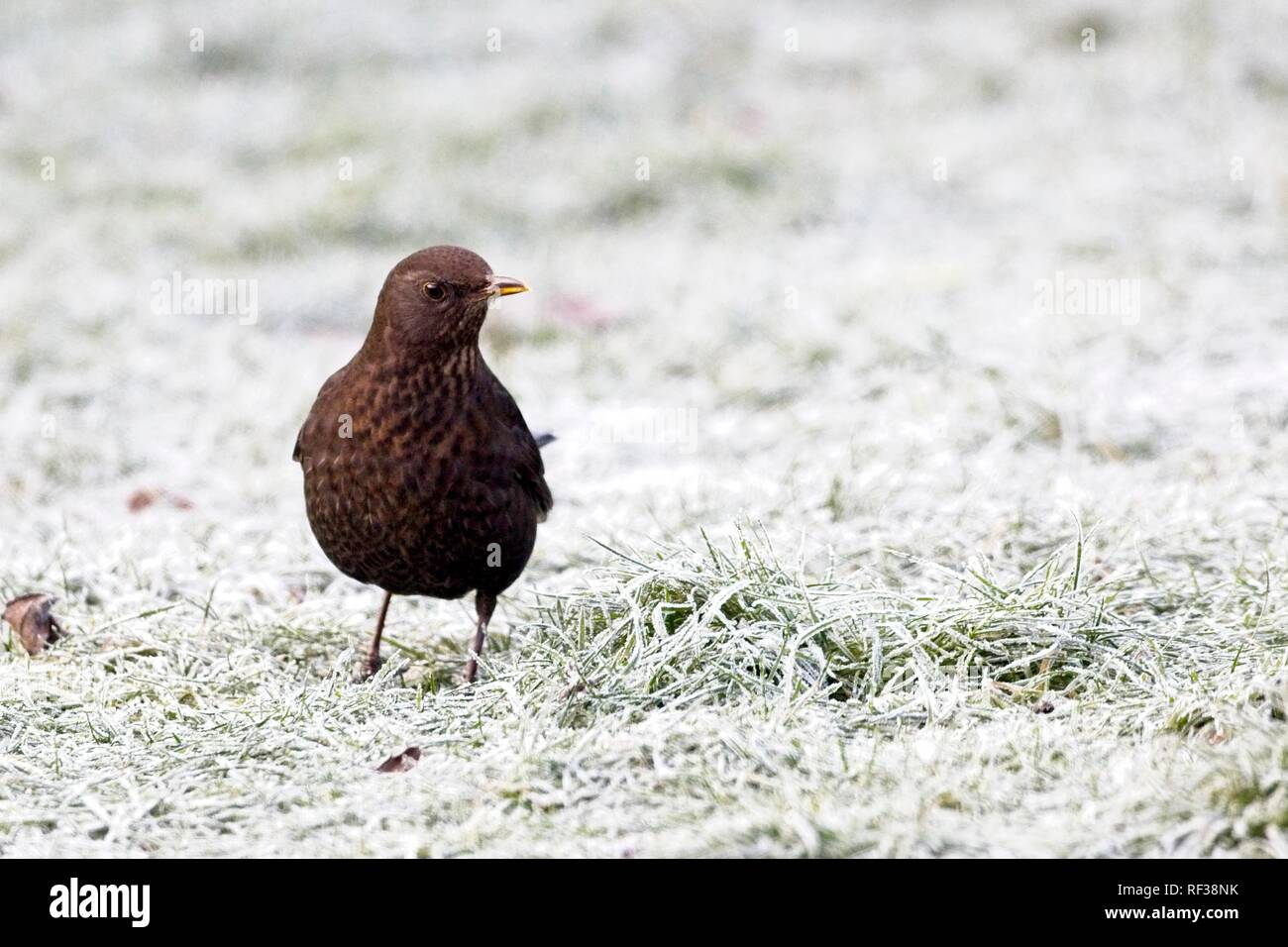 Hailsham, UK. 24th Jan 2019.UK weather.A Blackbird (Turdus merula) scavenges for food this morning after a cold night in Sussex. Wildlife will struggle to find food as the cold weather worsens this week. Hailsham, East Sussex, UK. Credit: Ed Brown/Alamy Live News - Stock Image