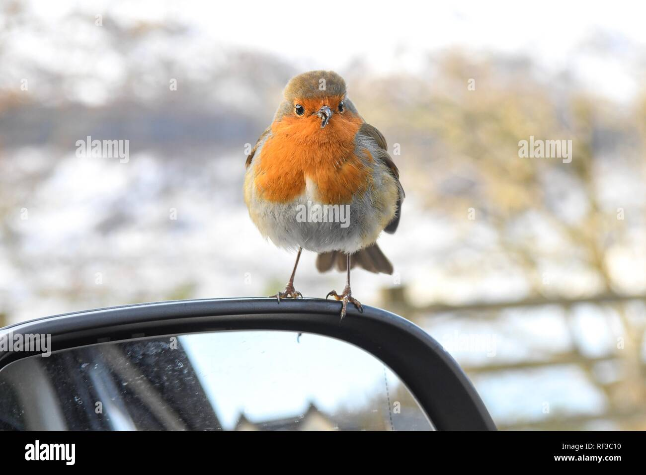 Loch Lomond, Scotland, UK. 24th Jan, 2019. uk weather - a cheeky robin hops inside Campervan hoping to be fed on a cold afternoon at Loch Lomond. The unfortunate bird has an overgrown and misshapen beak which may make feeding itself more difficult Credit: Kay Roxby/Alamy Live News Stock Photo