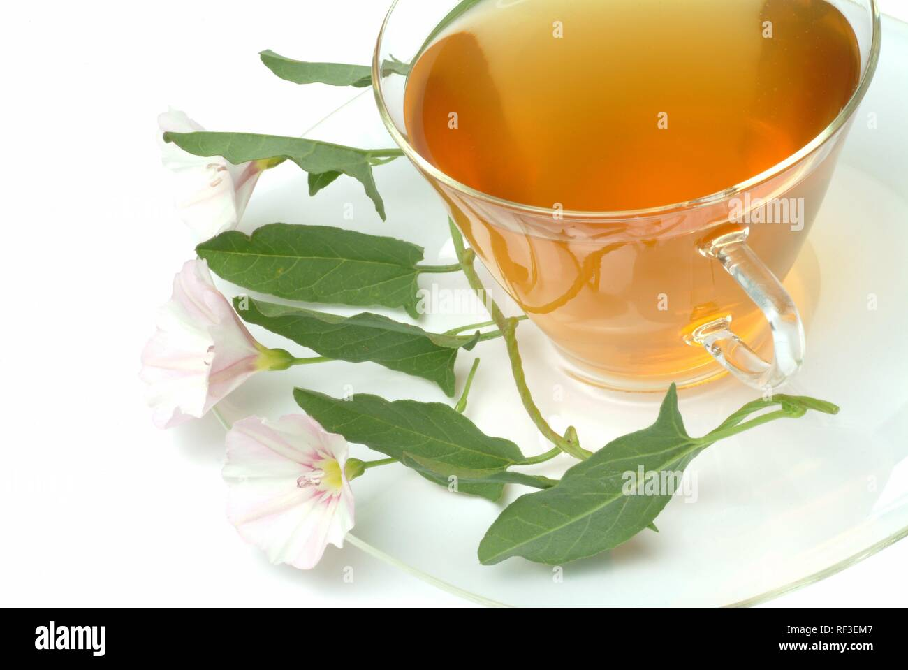 Field Bindweed (Convolvulus arvensis) tea, herbal tea - Stock Image