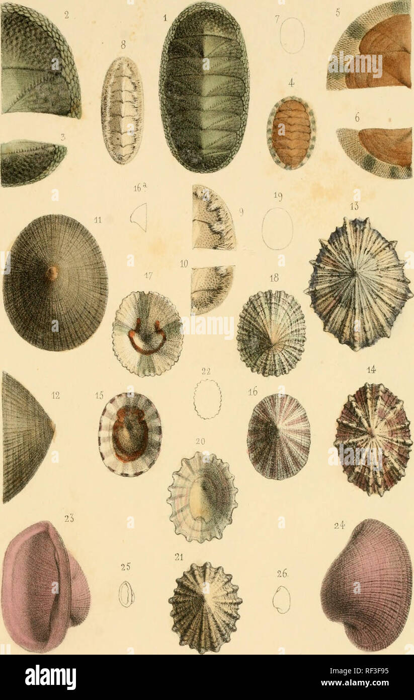". Catalogue des mollusques de l'île de la Réunion (Bourbon). Mollusks. Coî^CHYLIOLOGlE PL 6. 1-5 Chilon ruslicus Desli 4-7. sanguineus. ô-io penuMllalus   1 i-i-i .P a te n a ^"" a r ç oui i3  ..  M 01-011 14 . l'alella levata Dcsli. i5-i6 Pi-ofunda 17-19 EiTiarômulaBrevirimata- '20-22.BrodeiMpia N]tidissima   •23-26. Pcdiciilana Elo^anhssiiTia u. Please note that these images are extracted from scanned page images that may have been digitally enhanced for readability - coloration and appearance of these illustrations may not perfectly resemble the original work.. Deshayes, G. P. (Gérard P Stock Photo"