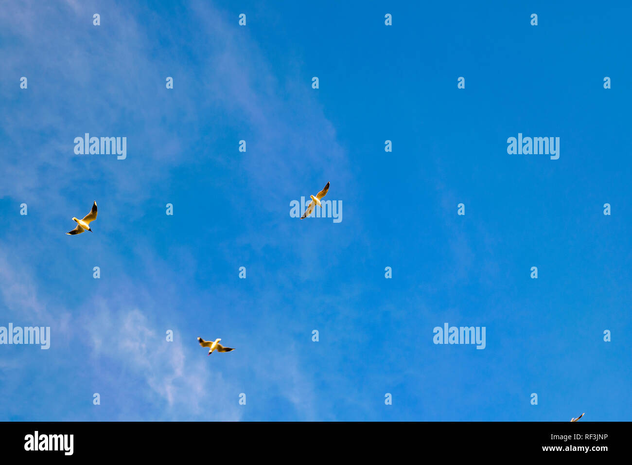 Three birds flying over clean blue sky background - Stock Image