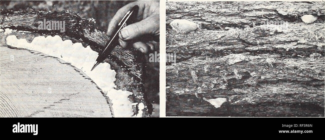 . The deterioration of beetle-killed Douglas-fir in western Oregon and Washington. Figure 10. Fungus fruiting bodies commonly found on beetle-killed Douglas-firs. A. Polyporus volvatus conks B. P. abietinus conks 1 year after death of tree. 2 years after death of tree.. C. Fomes pinicola conk developing on log D. F. pinicola conks first appearing in 2 months after cutting (tree dead 8 years). bark crevice 3 years after death of tree.. Please note that these images are extracted from scanned page images that may have been digitally enhanced for readability - coloration and appearance of these i - Stock Image