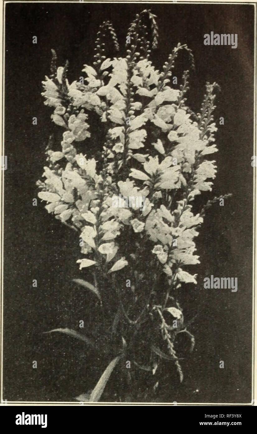 Succulent Home Garden Rare Plant Succulent Live Plant Sedeveria 'Blue Elf' 5cm