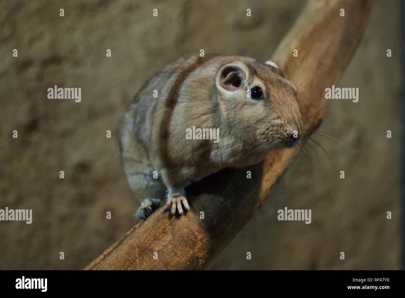 Common gundi (Ctenodactylus gundi). Wild life animal. - Stock Image