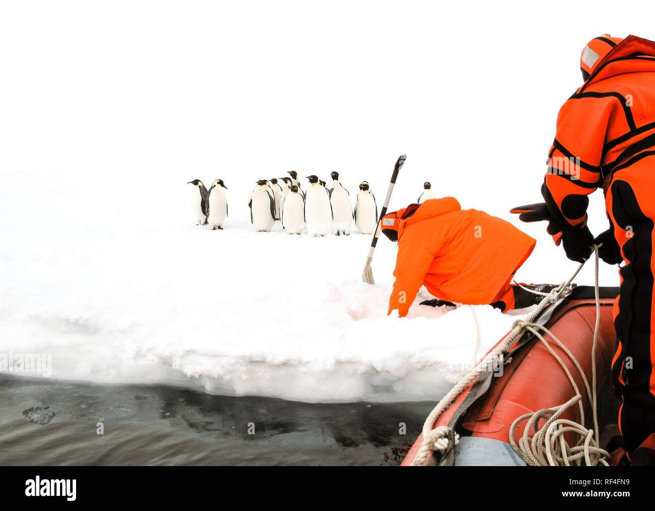 Scientists approaching to a group of emperor penguins by an inflatable boat - Stock Image