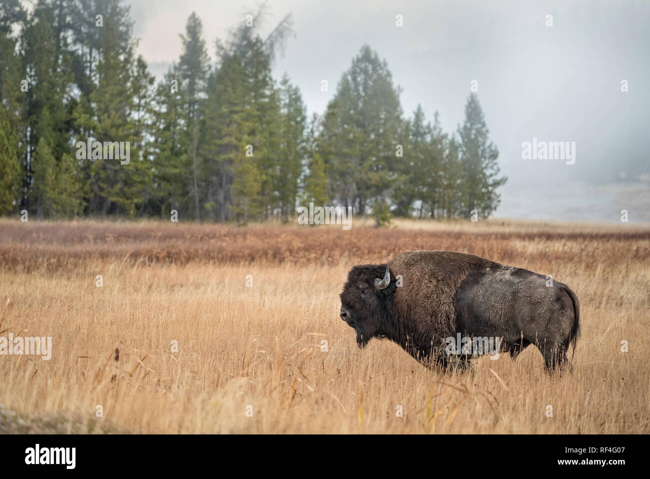 Bison At Upper Geyser Basin In Old Faithful Yellowstone