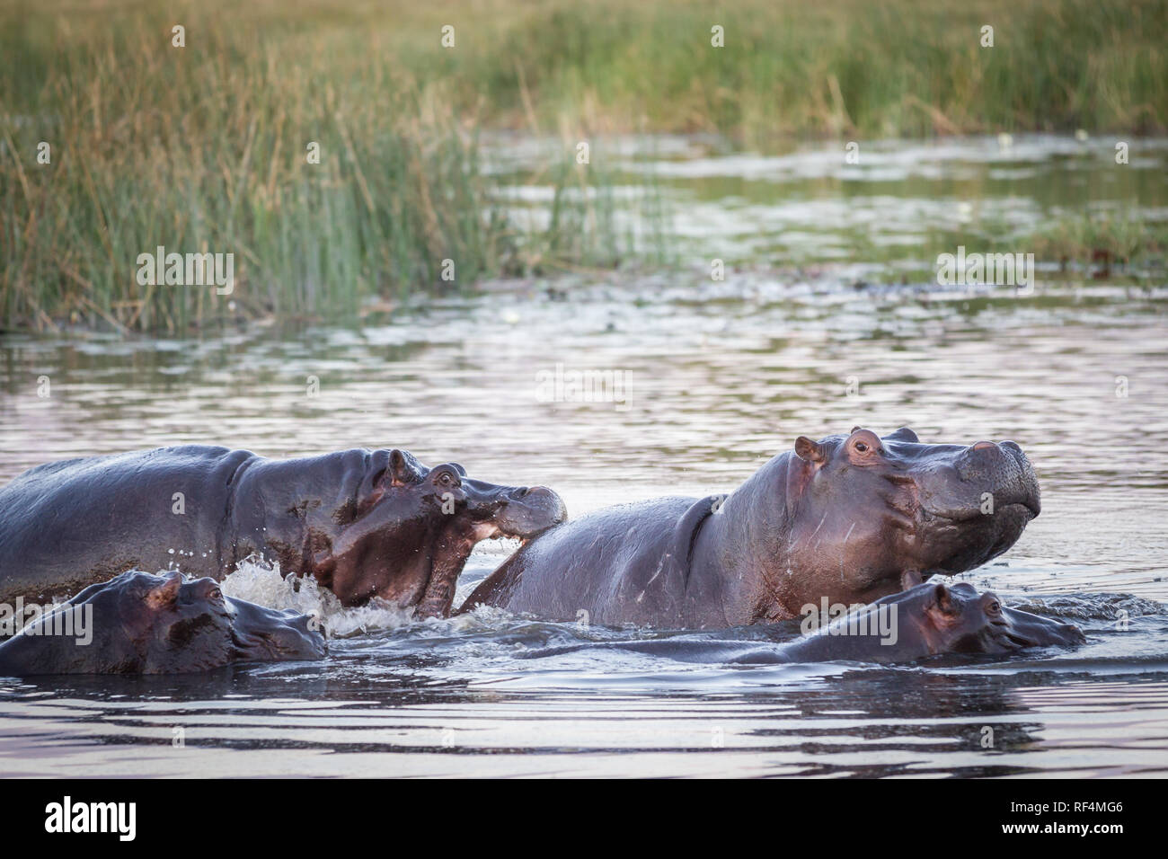 As flood waters in the Savuti Channel dry up, hippos, Hippopotamus amphibius, fight for space. Stock Photo
