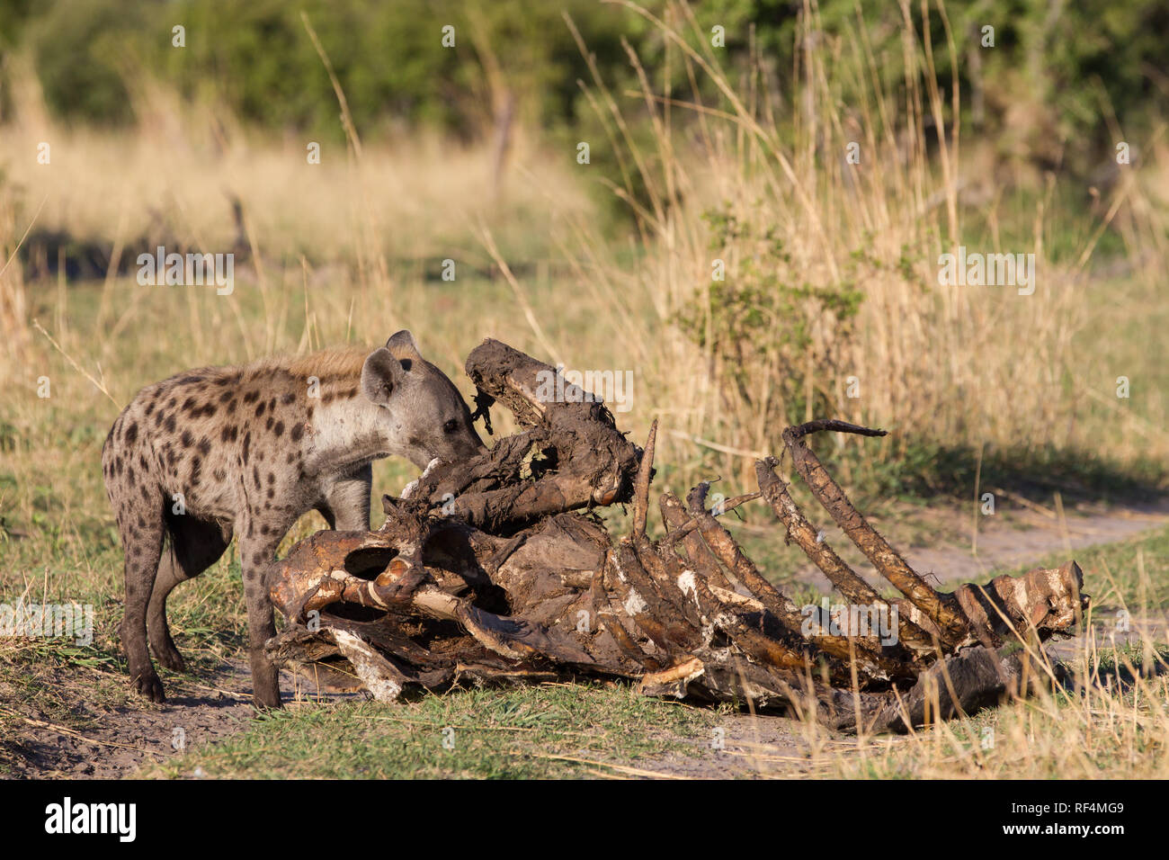 Spotted hyene, Crocuta crocuta, act as both scavengers and hunters in the savanna flood plains of the Linyanti River in northern Botswana. When flood  - Stock Image