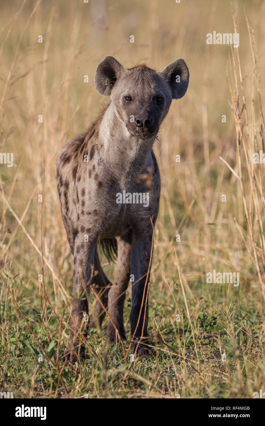 Spotted hyene, Crocuta crocuta, act as both scavengers and hunters in the savanna flood plains of the Linyanti River in northern Botswana. - Stock Image