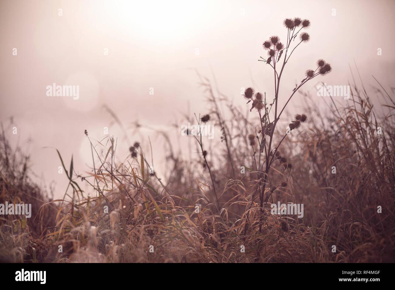 Plants next to the shore of a foggy lake at sunrise - melancholic atmosphere - Stock Image