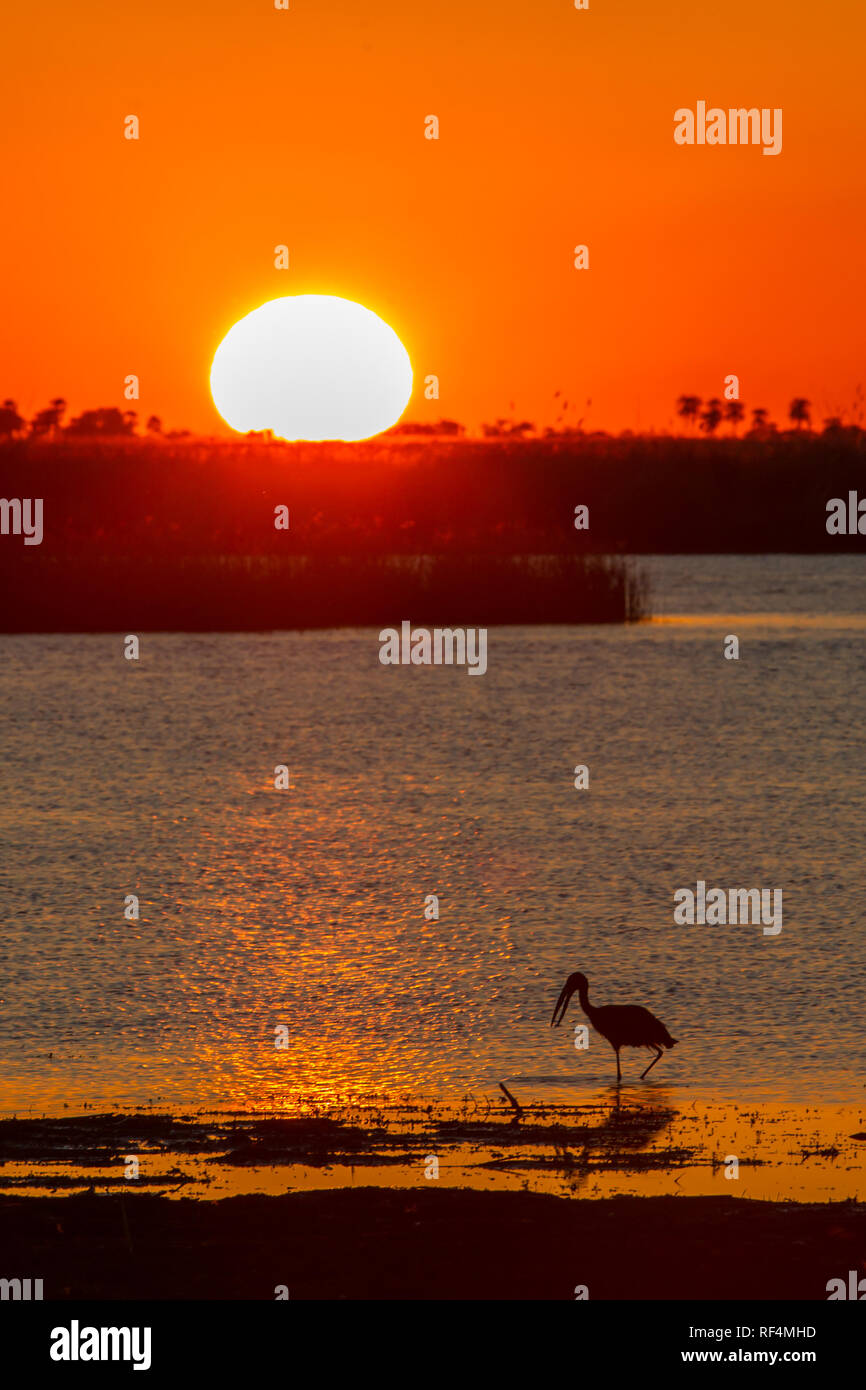 An African openbill, Anastomus lamelligerus, adds an interesting foreground to a beautiful view of sunset over the river in Linyanti, Botswana. - Stock Image