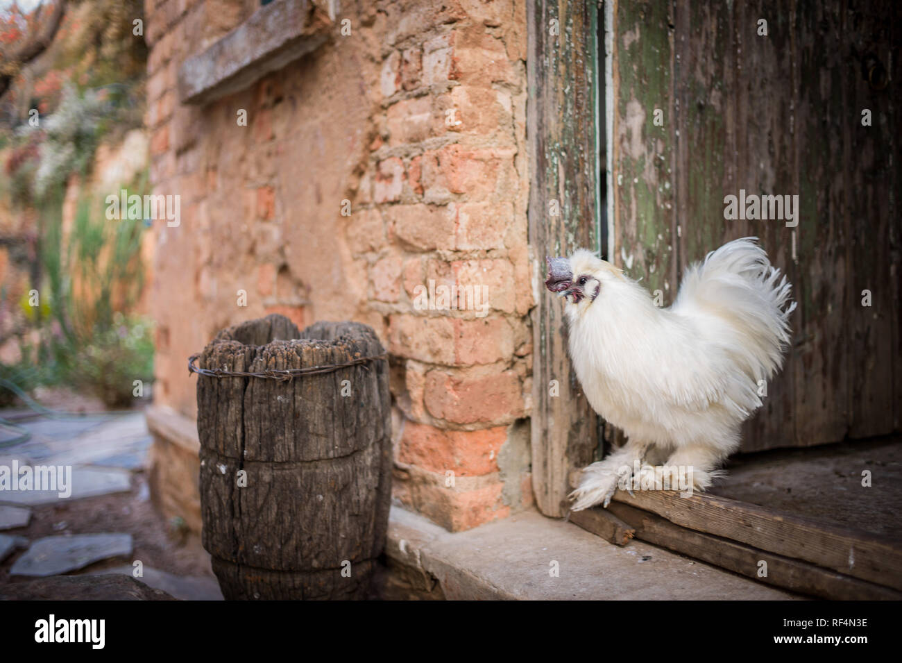 A silkie breed rooster, named for its soft white feathers, gives a rural, old-world feel to a back garden in a neighborhood of Johannesburg, Gauteng,  - Stock Image