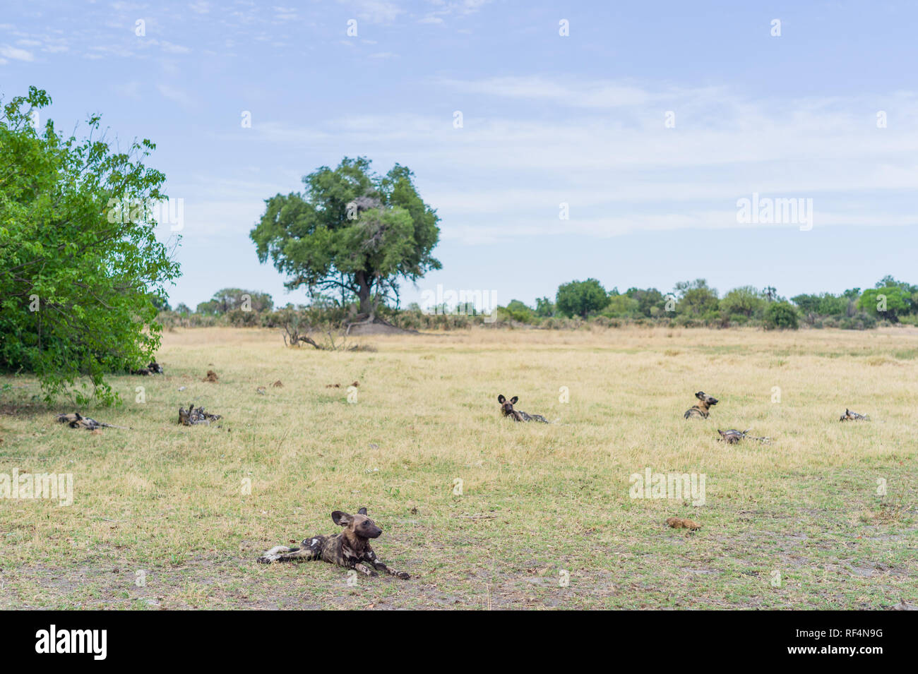 Rare and endangered African wild dogs, Lycaon pictus, are frequently sighted at some of the consessions in the Okavango Delta, Botswana. - Stock Image