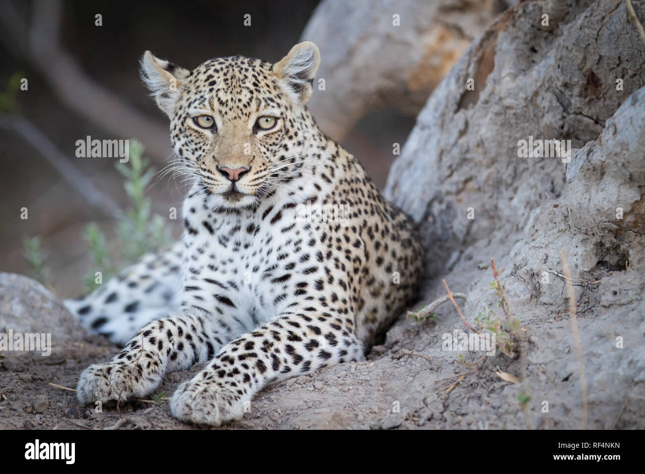 Many areas of the Okavango Delta, North West District, Botswana are famous for frequent opportunities to see big cats like leopard, Panther pardus - Stock Image