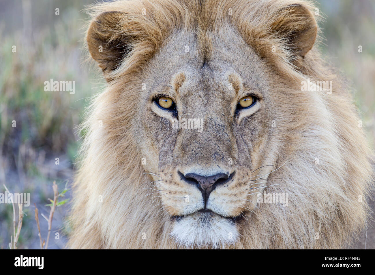 Lion are frequently seen hunting on the flood plains of the Linyanti River in northern Botswana. - Stock Image
