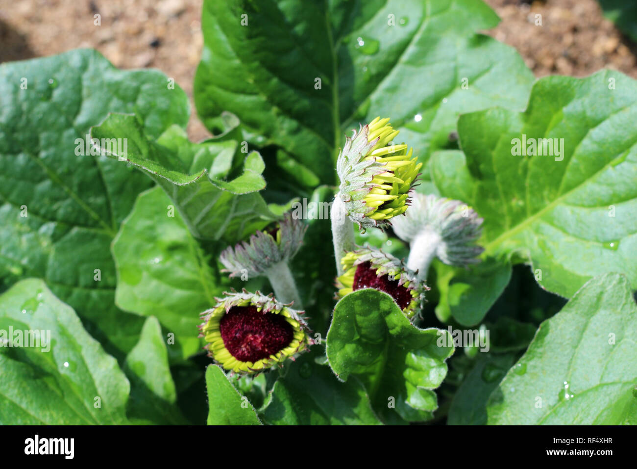 Closeup of a Gerbera Daisy, Transvaal Daisy, just beginning to bloom in a rocky garden in the spring - Stock Image