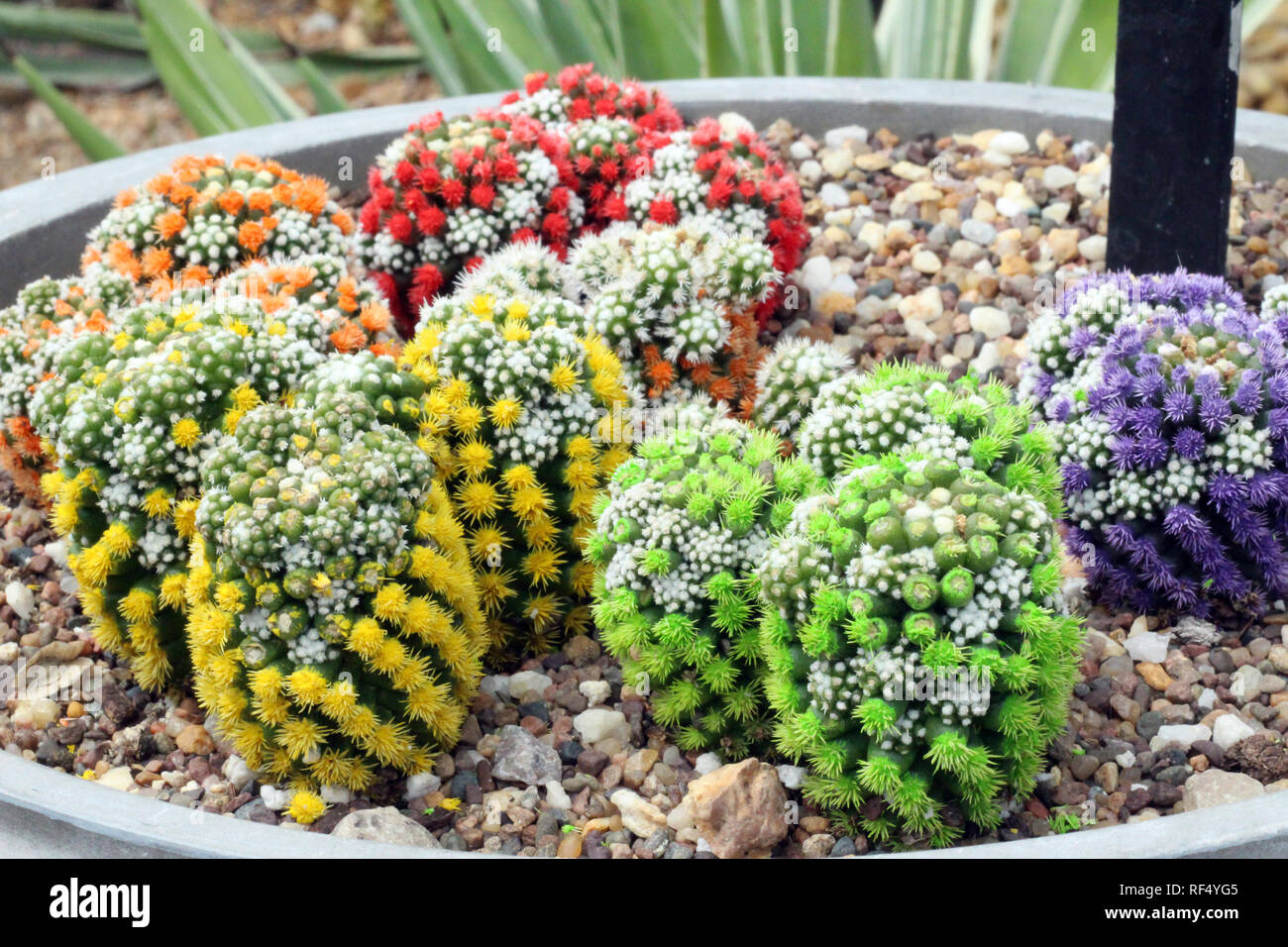 A group of multi colored Mammillaria cacti, dyed yellow, green, red, orange and purple - Stock Image