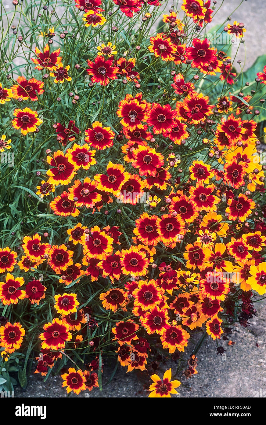 Coreopsis tinctoria with lots of flowers in full bloom  An annual that is ideal for a sunny herbaceous border and make a good cut flower - Stock Image