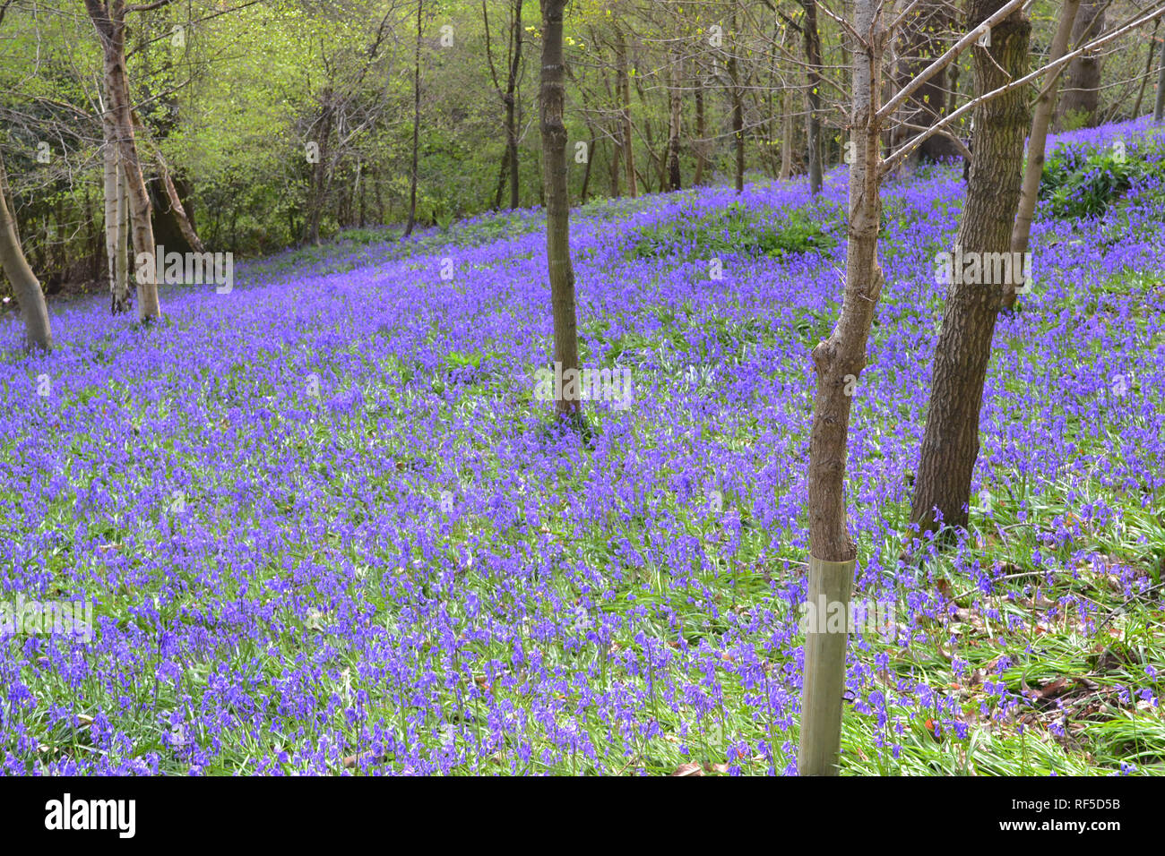 Bluebells at Scord's Wood SSSI, by Emmetts Garden, Ide Hill, Kent, England in April. One of the best spots in the UK for this wildflower - Stock Image