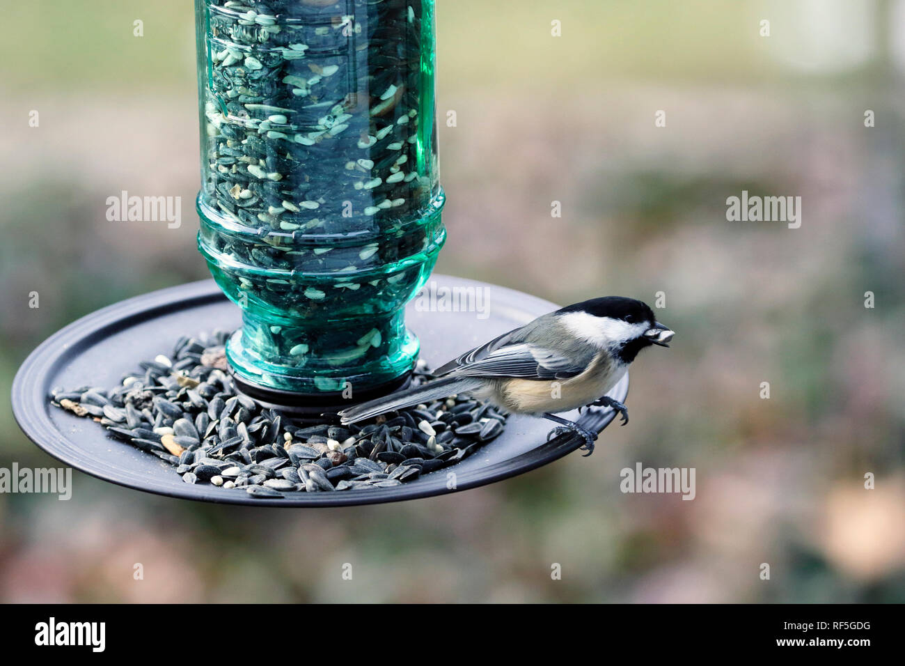 Black-capped Chickadee, Poecile atricapillus, eating at a bird feeder - Stock Image