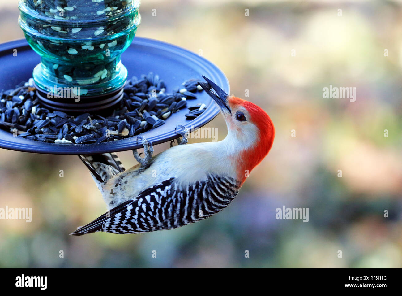 Red-bellied Woodpecker, Melanerpes carolinus, eating at a bird feeder - Stock Image