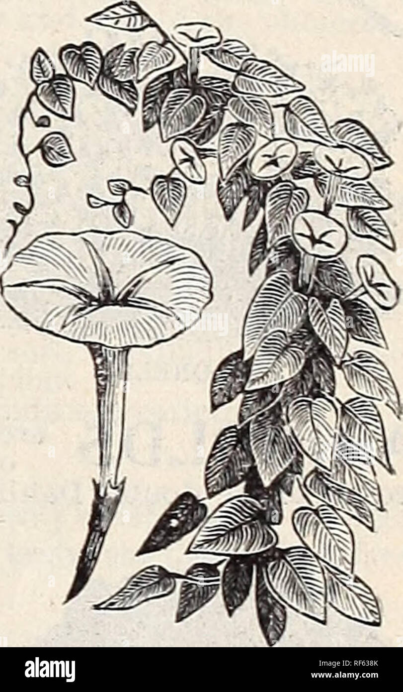""". Landreths' seed catalogue. Nursery stock Pennsylvania Philadelphia Catalogs; Vegetables Seeds Catalogs; Plants, Ornamental Catalogs; Flowers Seeds Catalogs; Fruit Catalogs. Hollyhock. Ipomcea. the most beautiful of HUMEA Elegans.—A highly decorative plant. Bears mintite flowers on gracefully drooping branches. Sweet-scented biennial 10 HUnULUS Jnponicus Variegatus (Japnnfsf H""""p).—One of the quickest- growing climbers, dark leaf veined and blotched with white markings, forms a dense covering 10 HYACINTHUS Candicans.—White; Cape Hyacinth is a very handsome, fragrant perennial, suitable fo - Stock Image"""
