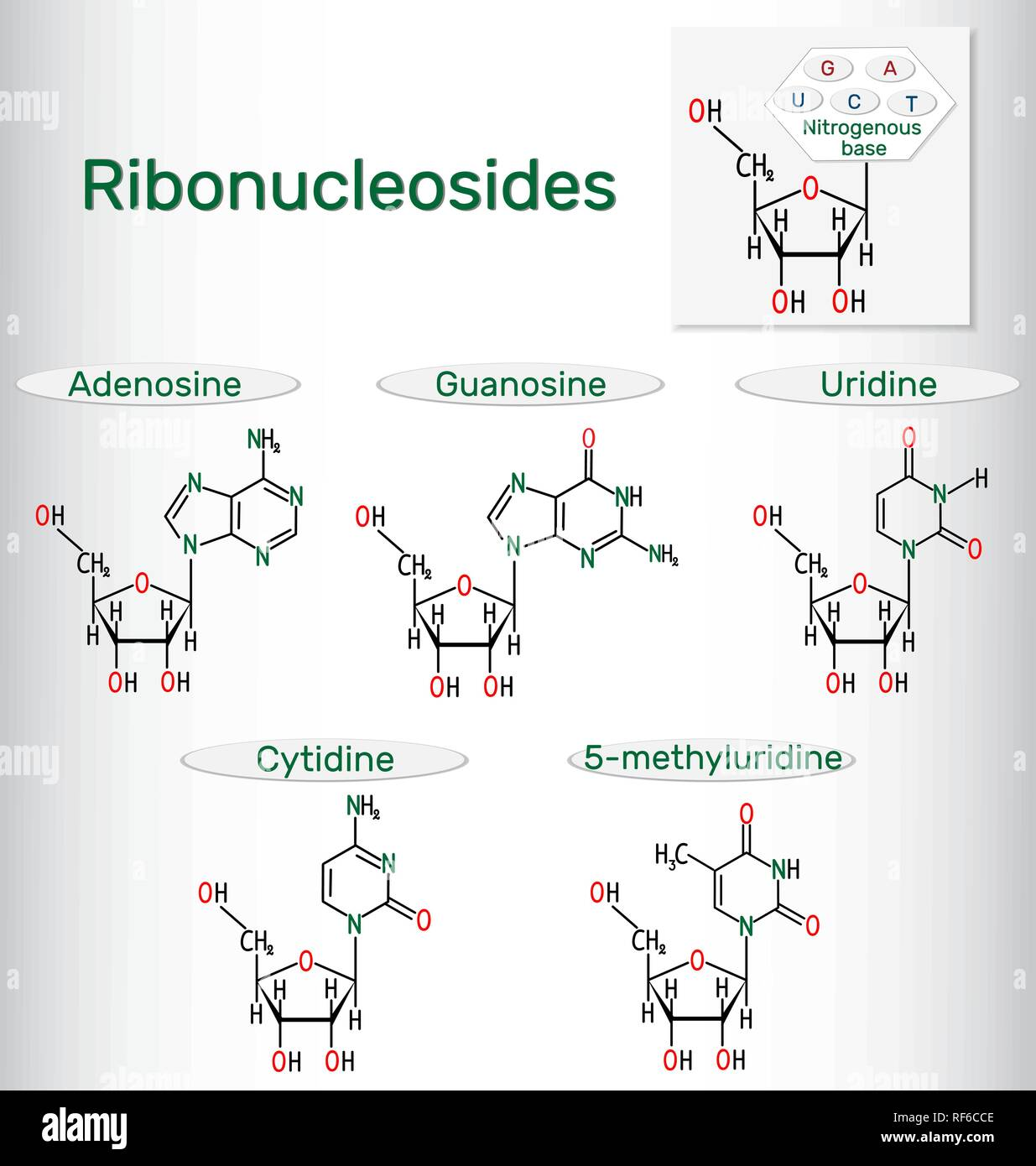 Ribonucleosides (adenosine, guanosine, cytidine, uridine, 5-methyluridine) - pyrimidine and purine nucleoside molecule. Structural chemical formulas.  - Stock Image