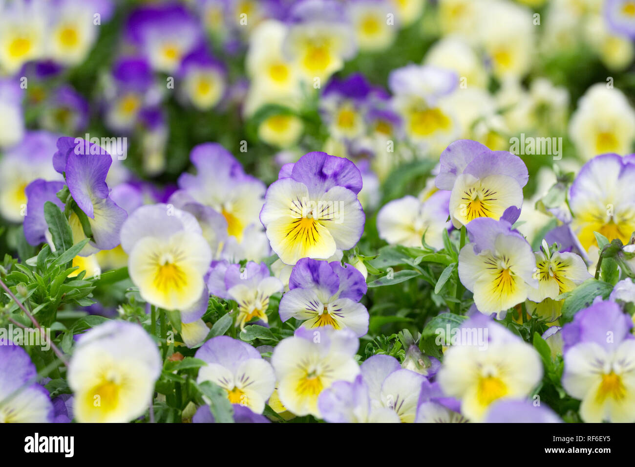 Viola x wittrockiana flowers. Pansy cool wave series. - Stock Image
