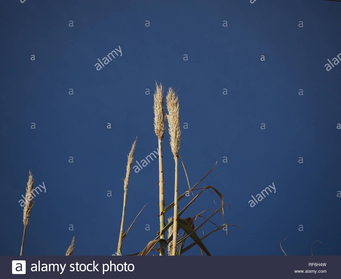 Common Reeds Upper part - Phragmites australis - Stock Image