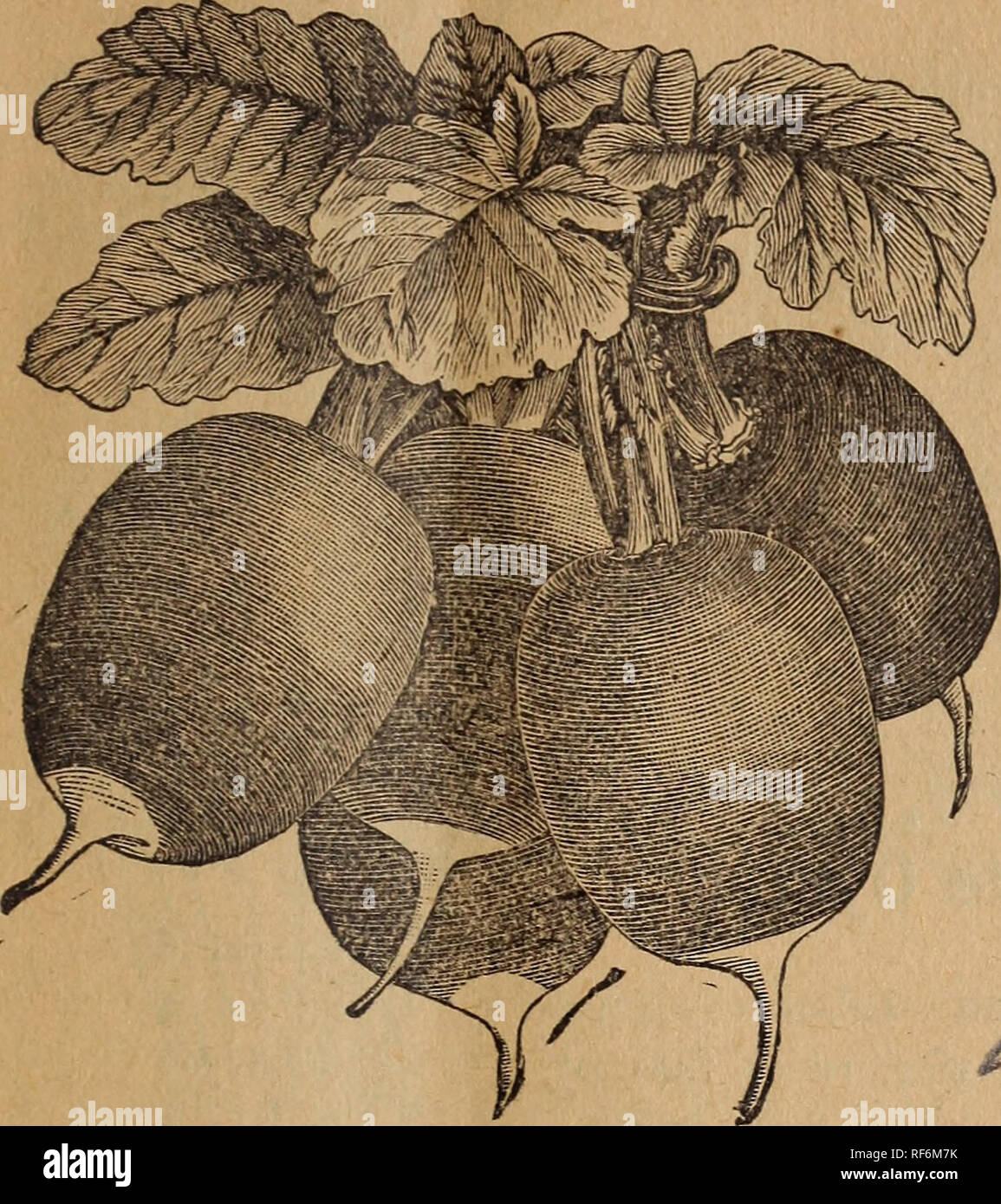 . Seed catalogue. Nursery stock Manitoba Catalogs; Vegetables Seeds Catalogs; Fruit Catalogs; Flowers Seeds Catalogs; Agricultural implements Catalogs. DESCKIPTIVE CATALOGUE. 2a* Radish. Long Black Spanish, Winter—One of the latest and hardiest of the radishes. An excellent sort for winter use. Roots ob- long;, black, large and firni. It is sown somewhat earlier than fall turnips, and must be kept stored in sand, m the cellar, I for winter use. It will keep good till spring:. Pkt., oc.; oz., 15c.; 2 oz., 25c.; ^ lb., 35c.; lb., $1.00. ^California Mammoth White China, Winter—Pure white, about o - Stock Image