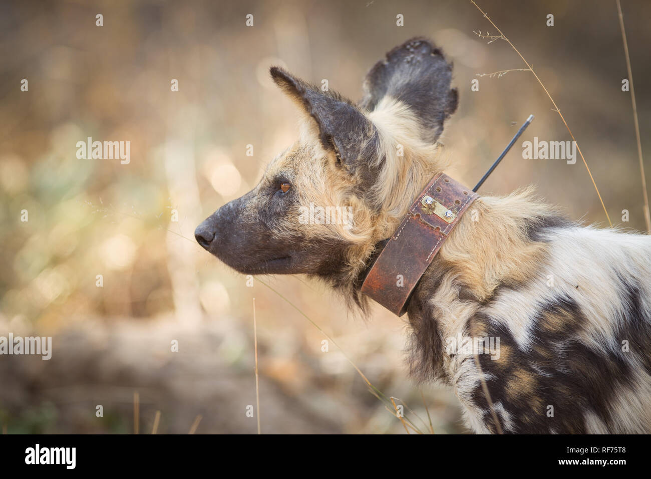 A tracking collar is used by scientists to monitor the movements of African Wild Dog, Lycoan Pictus, in Hwange National Park, Matabeleland, Zimbabwe. Stock Photo