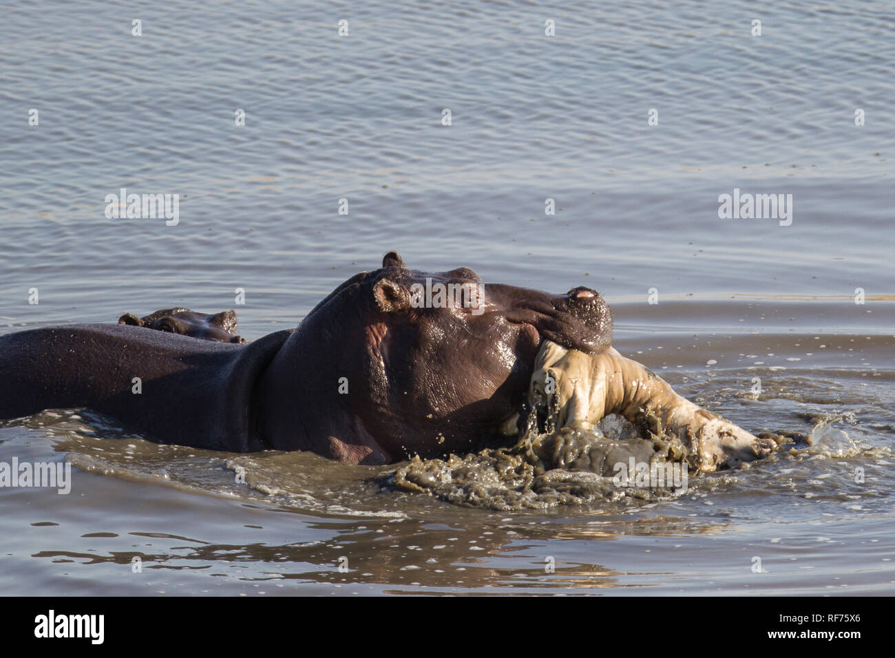 Hippos, Hippopotamus amphibius, are vegetarians, but they occasionally eat meat, scavenging from carcasses, or playing with dead animals. Stock Photo