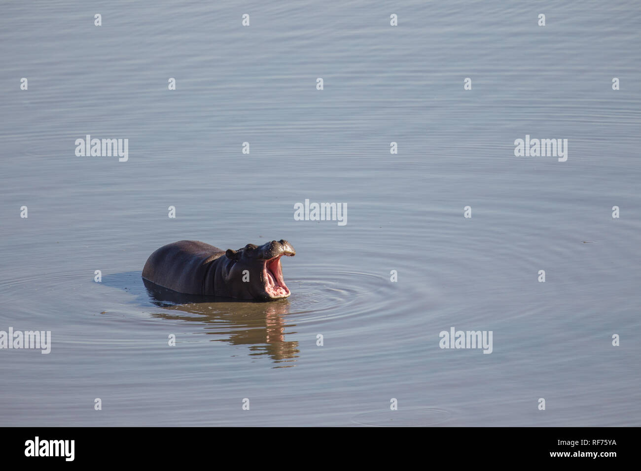 Young hippos are quite playful like this common hippopotamus, Hippopotamus amphibius, creating rings in a dam in  Hwange National Park, Zimbabwe Stock Photo