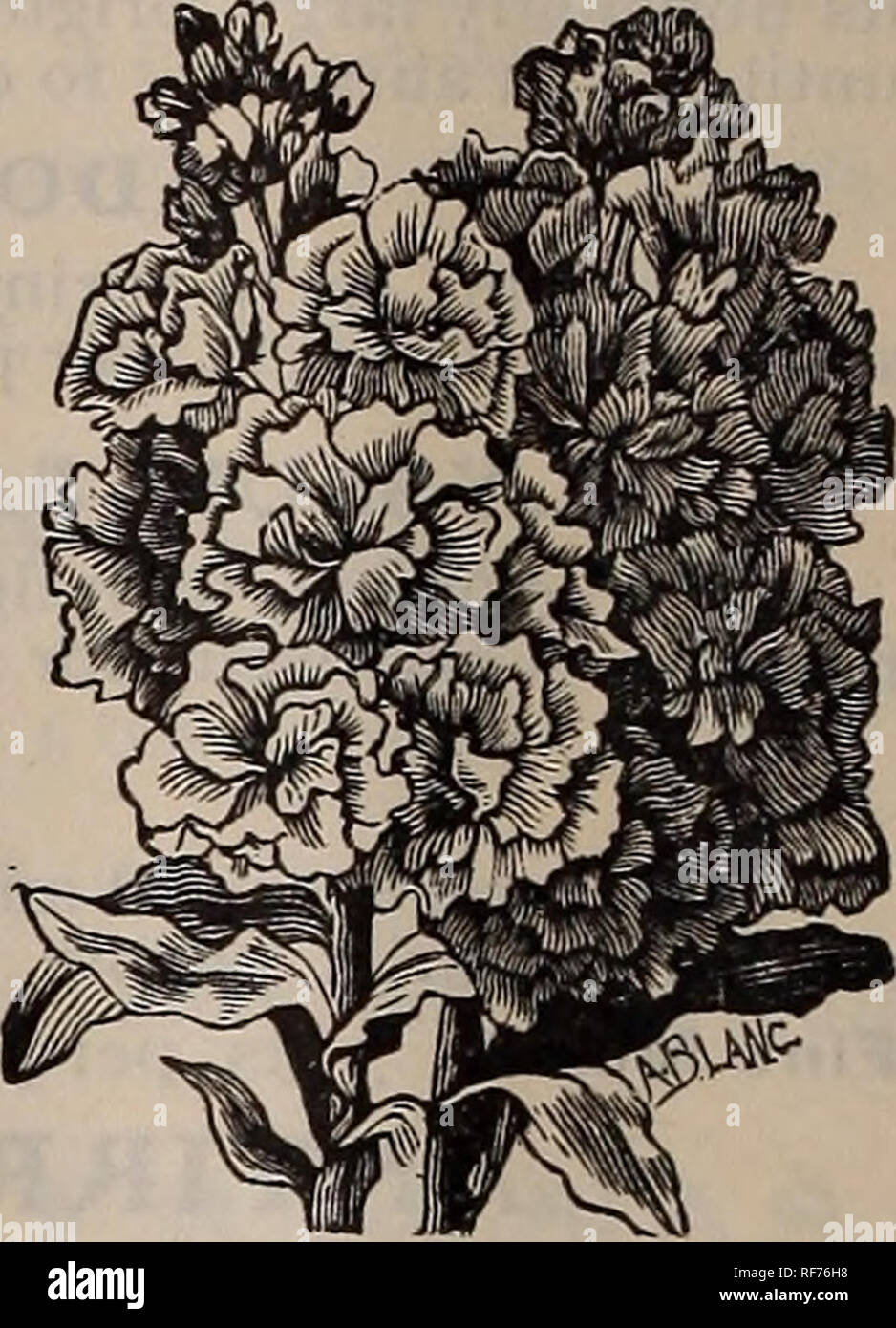 . Seeds and implements. Nursery stock Rhode Island Providence Catalogs; Vegetables Seeds Catalogs; Flowers Seeds Catalogs; Agricultural implements Catalogs. Myosotis. M. M. PENTSTELMON (Beard Tongue) The flowers are borne in graceful spikes. The plants are herbaceous, and bloom from early summer until frost. The flowers are white, blue, scarlet, crimson, yellow, etc. Mixed, 10 cts. per pkt. SWEET WILLIAM See Dianthus barbatus. PAPAVER ORIENTALE Large, brilliant flowers, rich and bright in their color. The loose, silken petals have each one a blotch of black at the base. The plants are about 2  - Stock Image