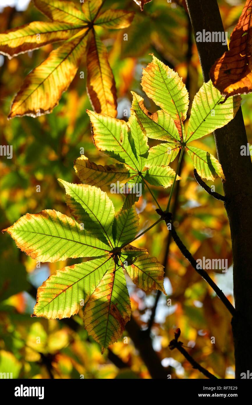 horse-chestnut or conker tree, Gewöhnliche Rosskastanie, vadgesztenye, gesztenyefa, Aesculus hippocastanum - Stock Image