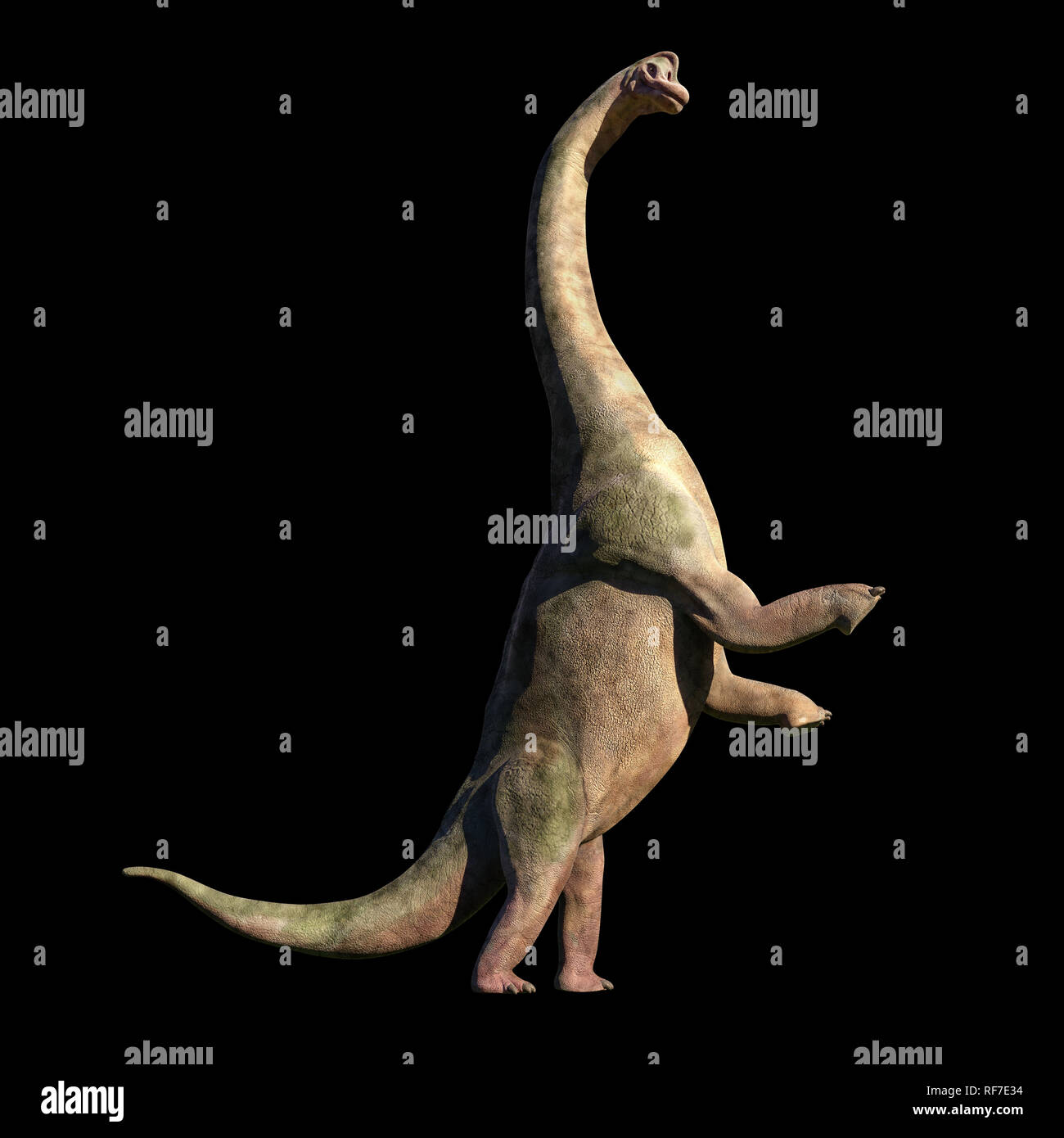 Brachiosaurus altithorax from the Late Jurassic in action (3d illustration isolated on black background) Stock Photo